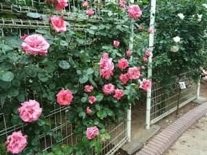 須和田公園のバラ