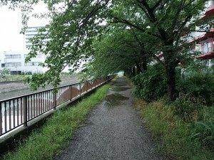 真間川の桜の木