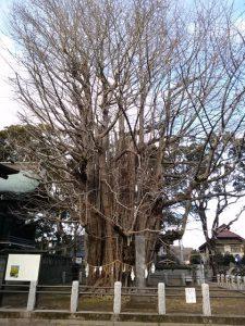 葛飾八幡宮の千本公孫樹(せんぼんいちょう)